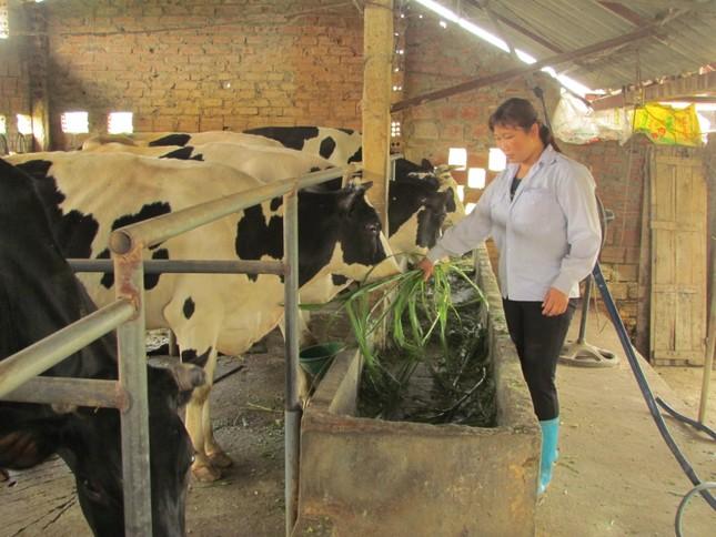 Chăm béo bò sữa để lấy… thịt - ảnh 2