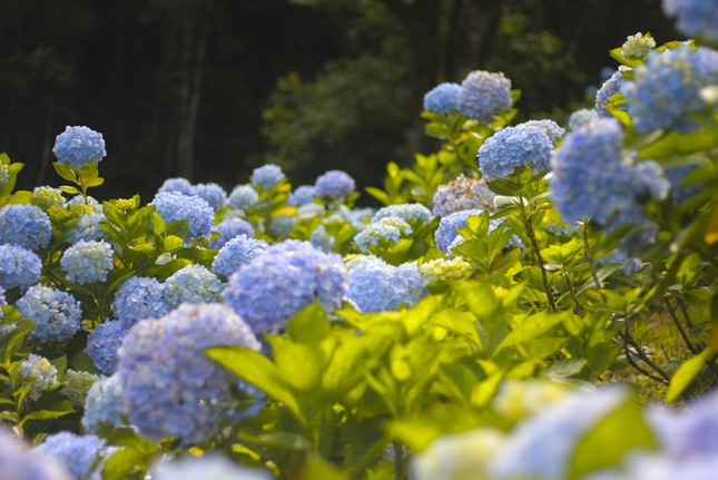 Vườn hoa cẩm tú cầu cách Hà Nội hơn 200km   - ảnh 3