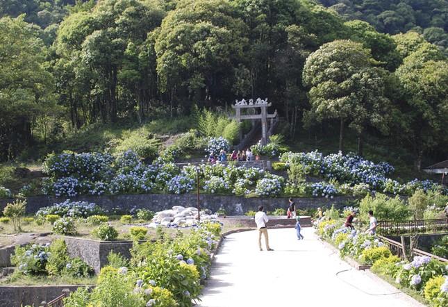 Vườn hoa cẩm tú cầu cách Hà Nội hơn 200km   - ảnh 1