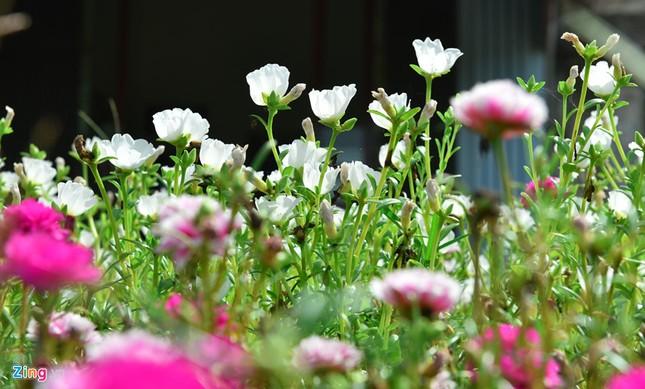 Ngắm đường hoa mười giờ độc đáo nhất Hà Nội - ảnh 1