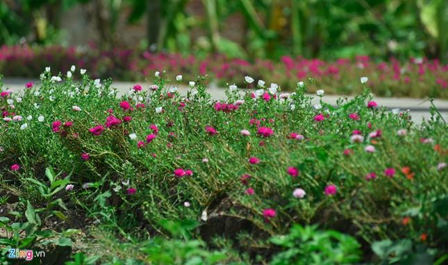 Ngắm đường hoa mười giờ độc đáo nhất Hà Nội - ảnh 2