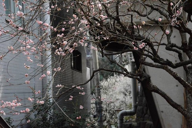 Ngọt ngào như Nhật Bản chìm trong sắc trắng hoa mơ giữa trời Xuân - ảnh 1