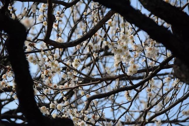 Ngọt ngào như Nhật Bản chìm trong sắc trắng hoa mơ giữa trời Xuân - ảnh 2
