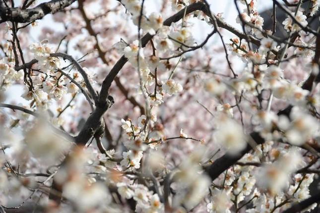 Ngọt ngào như Nhật Bản chìm trong sắc trắng hoa mơ giữa trời Xuân - ảnh 3