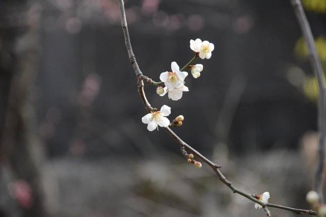Ngọt ngào như Nhật Bản chìm trong sắc trắng hoa mơ giữa trời Xuân - ảnh 4