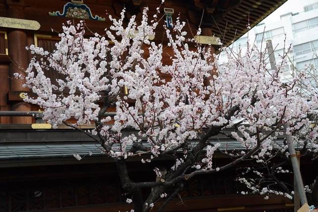 Ngọt ngào như Nhật Bản chìm trong sắc trắng hoa mơ giữa trời Xuân - ảnh 5