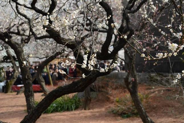 Ngọt ngào như Nhật Bản chìm trong sắc trắng hoa mơ giữa trời Xuân - ảnh 6
