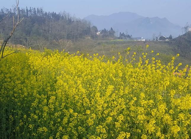 Mải mê 'sống ảo' với thảm hoa cải vàng đẹp mê hồn ở Sun World Fansipan Legend - ảnh 1