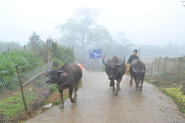 Sa Pa rét hại 8,4 độ C, dân sơ tán trâu bò tránh rét - ảnh 1