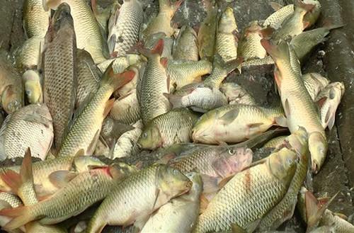 6 tấn cá nuôi ở Lào Cai chết sau khi lấy nước ở suối vào ao - ảnh 1