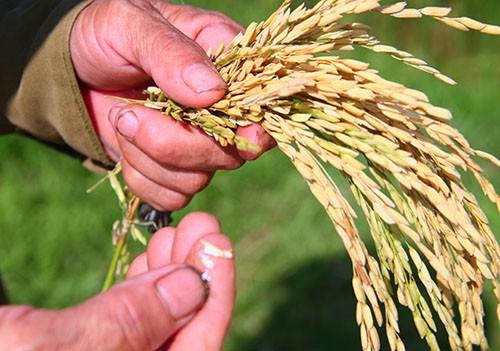 Hơn 200 ha lúa ở Hà Tĩnh nguy cơ mất trắng - ảnh 1