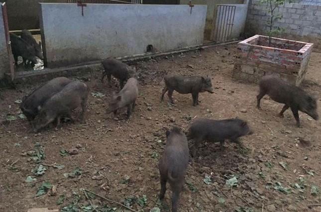 Người Hà Nội đặt nuôi lợn rừng online ăn Tết - ảnh 1
