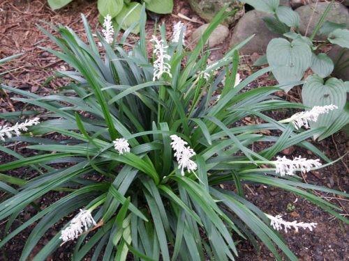 2 loại cây cỏ giúp phòng tránh nhồi máu cơ tim - ảnh 1