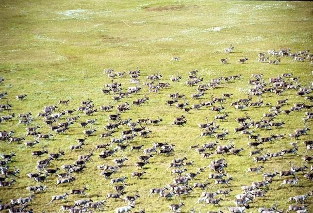 Bầy tuần lộc lớn nhất thế giới biến mất gần một nửa - ảnh 1