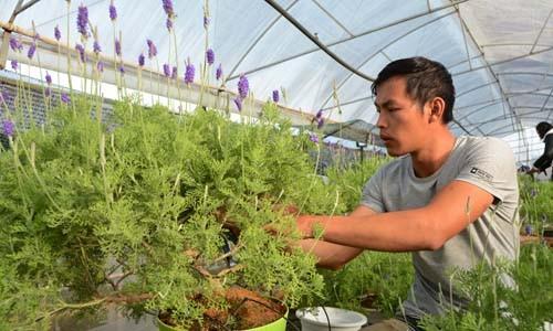 Độc đáo bonsai lavender chơi Tết - ảnh 2