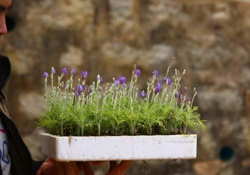 Độc đáo bonsai lavender chơi Tết - ảnh 1