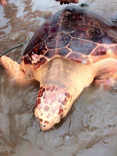 Quảng Trị: Rùa biển quý hiếm mắc lưới ngư dân - ảnh 3
