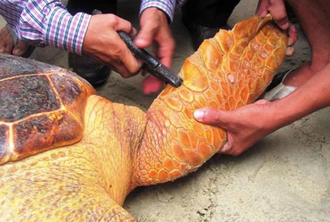 Quảng Trị: Rùa biển quý hiếm mắc lưới ngư dân - ảnh 2