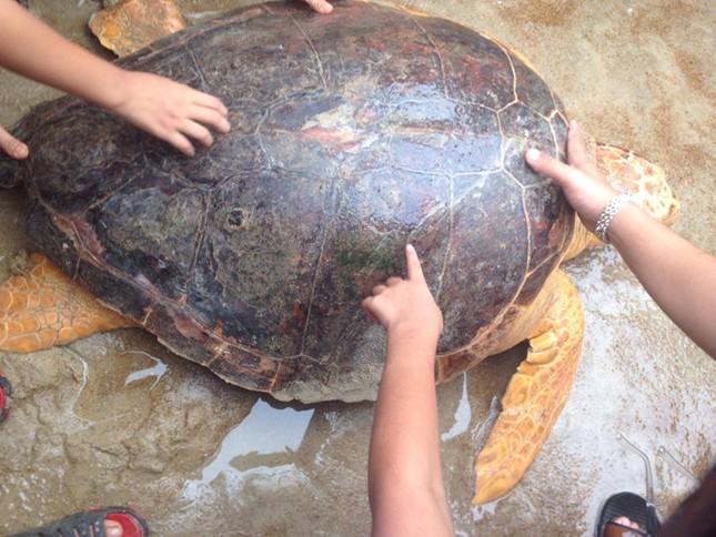 Quảng Trị: Rùa biển quý hiếm mắc lưới ngư dân - ảnh 1