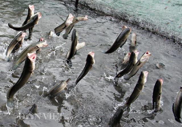 Anh nông dân Cần Thơ gọi cả vạn con cá lóc nhảy múa trên mặt nước - ảnh 7