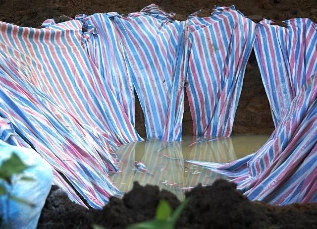 Đóng bì chôn hàng nghìn con lợn bị chết đuối ở Thanh Hóa - ảnh 1