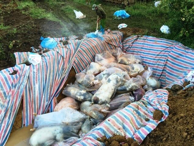 Đóng bì chôn hàng nghìn con lợn bị chết đuối ở Thanh Hóa - ảnh 5