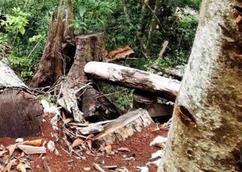 Rừng Điện Biên bị 'cạo trọc': Những cánh rừng 'chảy máu' - ảnh 1