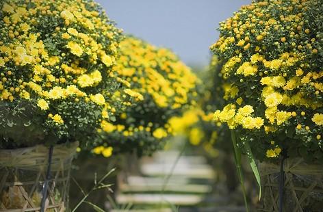 Điểm danh những loại hoa 'hút tài lộc' ngày Tết - ảnh 3