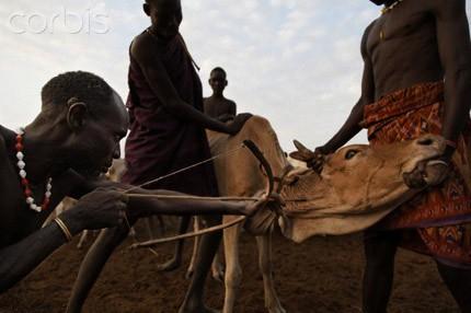 Hãi hùng bộ tộc uống tiết bò làm 'nước giải khát' - ảnh 2