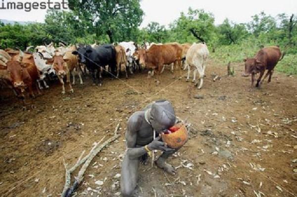Hãi hùng bộ tộc uống tiết bò làm 'nước giải khát' - ảnh 4