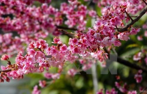 Hơn 10.000 cành hoa anh đào sắp khoe sắc rực rỡ tại Hà Nội - ảnh 1