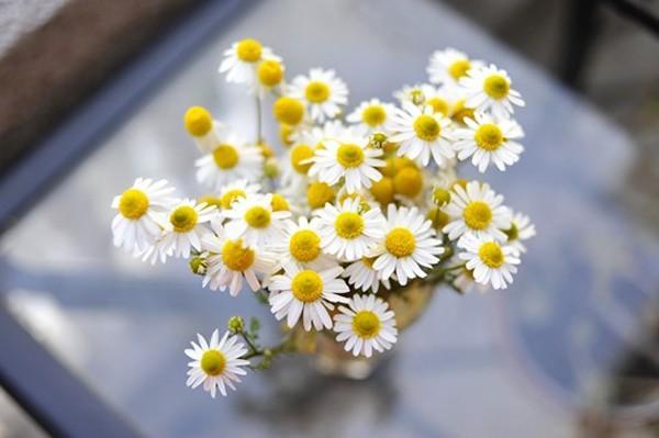 Hoa cúc mang ý nghĩa gì trong phong thủy? - ảnh 1