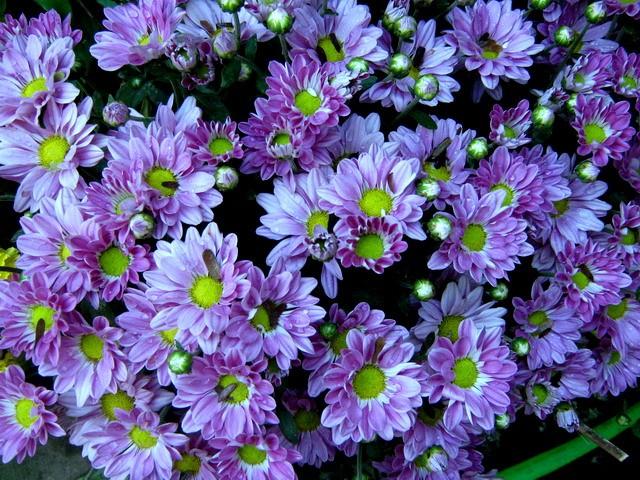 Hoa cúc mang ý nghĩa gì trong phong thủy? - ảnh 2