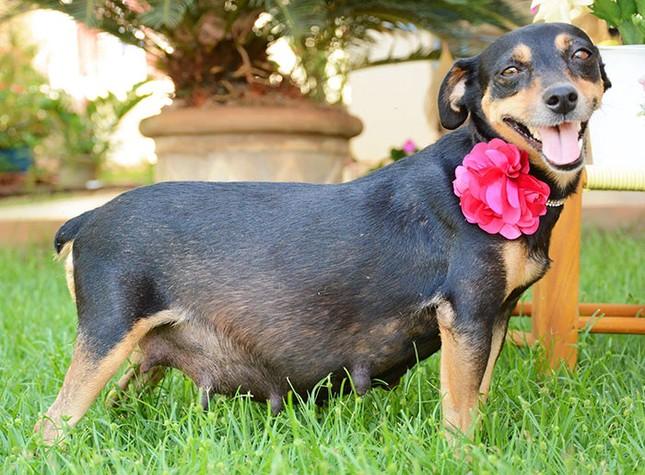 Bộ ảnh nàng chó mang bầu Hot nhất mạng xã hội - ảnh 1