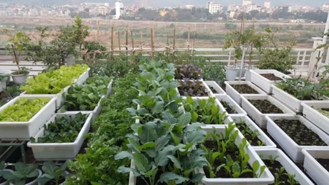 Vườn rau 40 m2 bội thu trên mái nhà khiến nhiều người ngưỡng mộ - ảnh 1