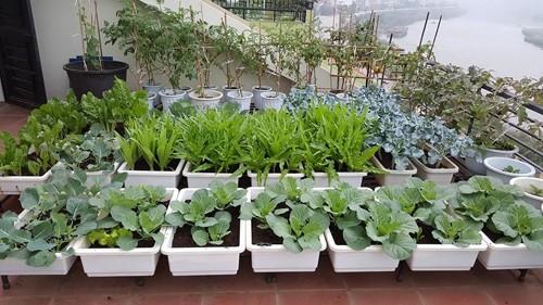 Vườn rau 40 m2 bội thu trên mái nhà khiến nhiều người ngưỡng mộ - ảnh 2