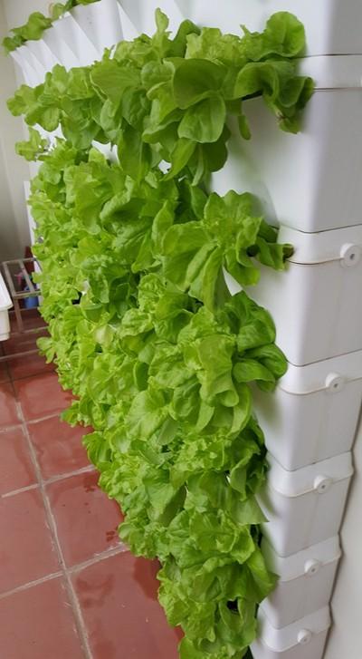 Vườn rau 40 m2 bội thu trên mái nhà khiến nhiều người ngưỡng mộ - ảnh 3