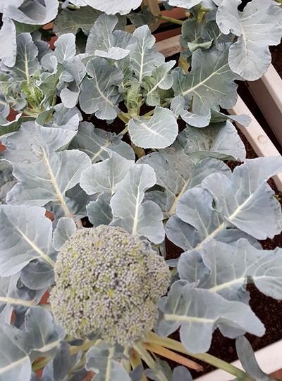 Vườn rau 40 m2 bội thu trên mái nhà khiến nhiều người ngưỡng mộ - ảnh 6