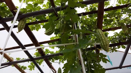 Vườn rau 40 m2 bội thu trên mái nhà khiến nhiều người ngưỡng mộ - ảnh 8