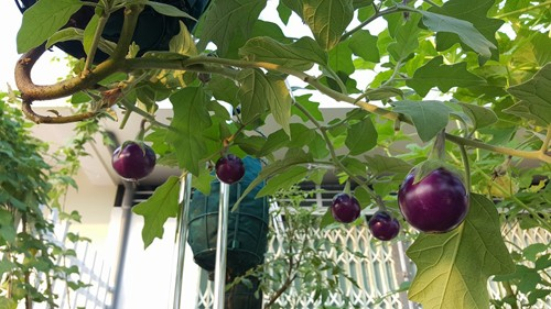 Vườn rau 40 m2 bội thu trên mái nhà khiến nhiều người ngưỡng mộ - ảnh 9