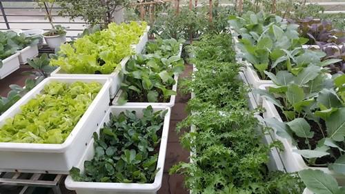Vườn rau 40 m2 bội thu trên mái nhà khiến nhiều người ngưỡng mộ - ảnh 13