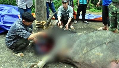 Nghệ An: Trâu tế vẫn bị chém tại Lễ hội Đền Chín Gian - ảnh 2
