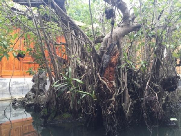 Sự thật về kho báu dưới cây sanh cổ 14 tỷ ở Huế - ảnh 1