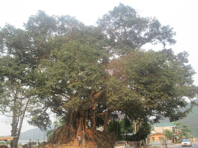 Cây đa 300 tuổi ở Huế được công nhận là cây Di sản Việt Nam - ảnh 1