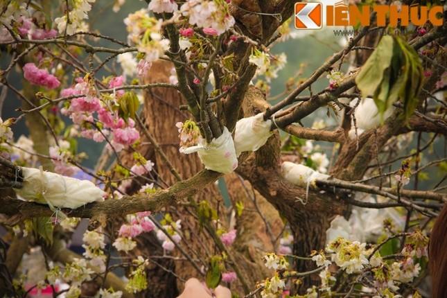 Lễ hội hoa anh đào 2016: Thất vọng vì hoa anh đào héo úa - ảnh 2