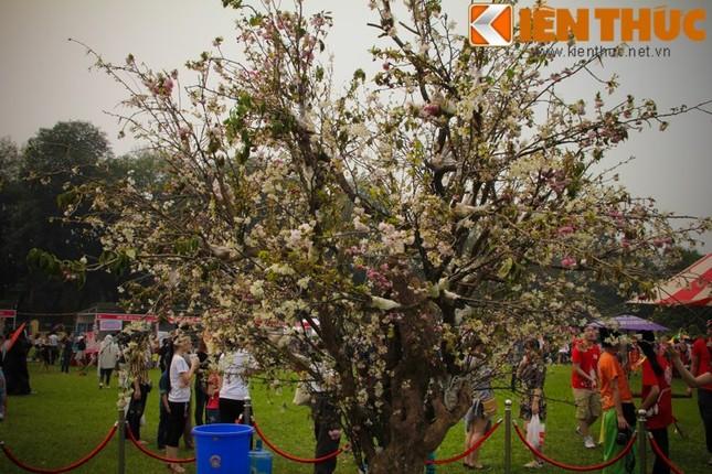 Lễ hội hoa anh đào 2016: Thất vọng vì hoa anh đào héo úa - ảnh 1