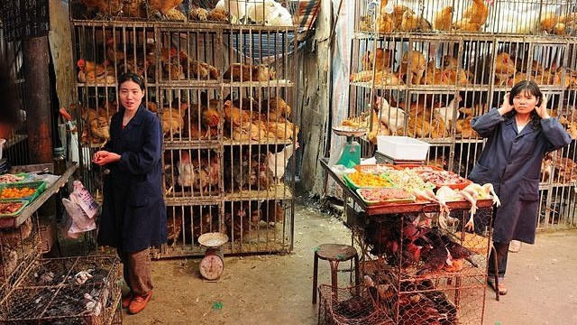 Vì sao thịt gà Trung Quốc lại 'siêu rẻ' đến vậy? - ảnh 1