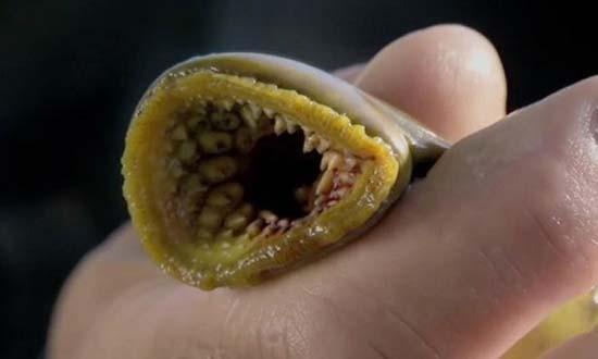 Cá ma cà rồng hút máu tràn ngập nhiều sông ngòi nước Anh - ảnh 1