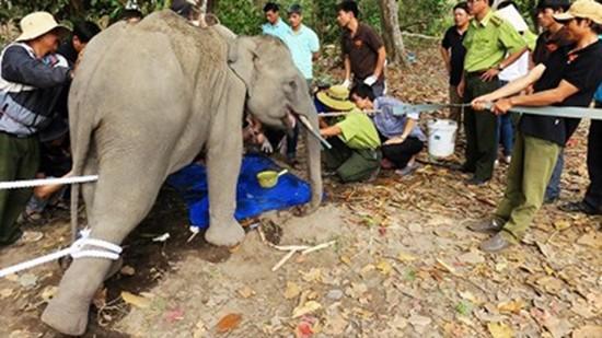 Hơn 600 triệu đồng mua dụng cụ khám, chữa bệnh cho voi - ảnh 1