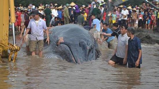 Giải cứu cá voi nặng hơn 10 tấn dạt vào bờ biển Nghệ An - ảnh 1